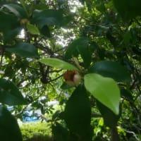 バナナの香り🍌唐種招霊