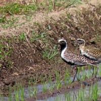 手賀川周辺の野鳥、チュウシャク、ムラグロなどを撮影