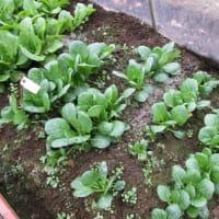 1月27日・ビニールハウス内葉菜類のお世話を継続しました!