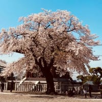 休日に桜、、、今年最後だな