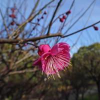 鶴見緑地 梅林 咲いてましたぁ~