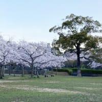 平和公園の桜(北九州市小倉北区)