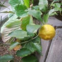 一才柚子に柚子一つ