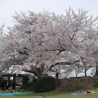 オカリナ・サークルのお花見