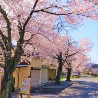 10/21~3日間 桜の伐採作業のため通行規制があります