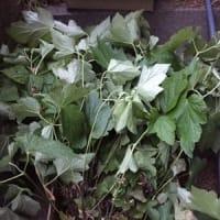 たくさんの花苗、大葉などいただきました & ヨルガオのタネの秘密