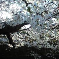 """風に舞う """" 夜桜 の 宴 """" ・・・ 観音川、 見ごろ 今週末まで"""