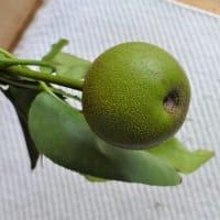 我が家の梨の木