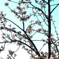 河津桜の開花情報