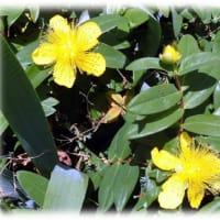 """初夏のころの花(^^♪花言葉は、""""きらめき""""""""悲しみは続かない"""" 鮮やかな黄色の花「ヒペリカム・カリシナム」"""