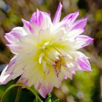 庭に咲く花・ダリア