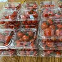 ミニトマト販売開始