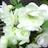 ボケ・ハクジュの花は