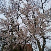 今年の桜(2021年)