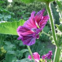 マロウの花は