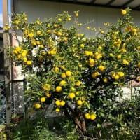 冬はやっぱり柑橘系
