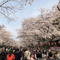 2018 sakura  Chery Blossoms