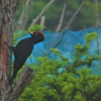 黒いあいつ再登場 Black Woodpecker