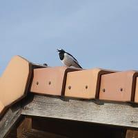 築上町の京築ブランド館での野鳥