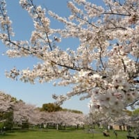 桜を見に行く2021