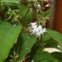 「おはようの花」 季節の山野草  シモバシラ    10月