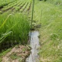 お盆前の採種果の選抜、そして不耕起田んぼの開花期