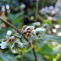 シャクチリソバ   この愛らしさには    千葉県市川浦安アスファルト脇植物園・自宅