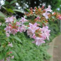 紅花アベリア