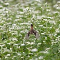 白そばの花畑でノビタキ~②~