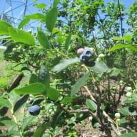ブルーベリー初収穫(2021)