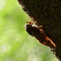 夏の朝の虫撮り写ん歩