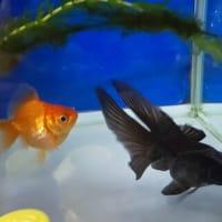 金魚の病気 ~ 転覆病?