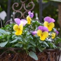 ミニカトレア 'リトル・プリンセス'が咲いています、そして庭の可愛い花も!