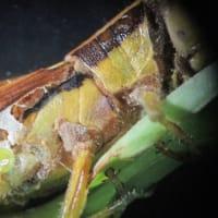 バッタカビ Entomophaga grylli
