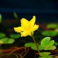 夏を涼しく ~ 水面に咲く花たち ~