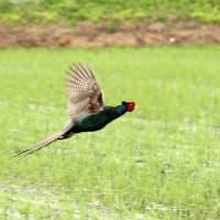 手賀沼をぐるっと野鳥撮影に・・・キジが飛ぶなど