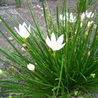 「おはようの花」  タマスダレ(玉簾) 10月