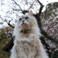 神社の桜 これからだなぁ