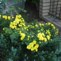ぶどう酵母種のパンとジューシーハンバーグと菊の花