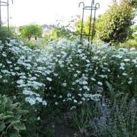 イングリッシュローズの花たち
