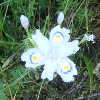 シャガの花は