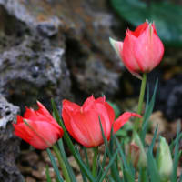 咲くやこの花館シリーズ 高山植物室編 (2月18日版 その2)