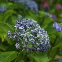 鶴見緑地公園の紫陽花