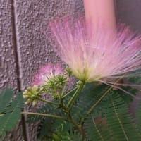 オジギソウに花が~
