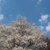 桜雑感2018