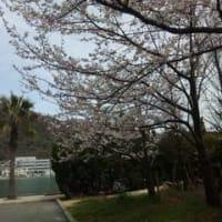日生の桜1304某日
