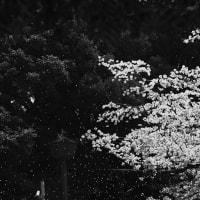 ~~~ さくら吹雪 ~~~