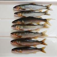 仁科川鮎、魚影少なく期待薄