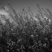 No.4589  モノクロの菜の花