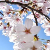 満開の桜と鳥